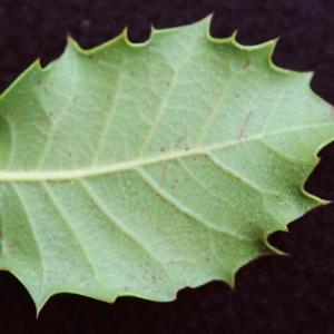 Photographie n°717898 du taxon Quercus x auzandri Gren. & Godr. [1856]