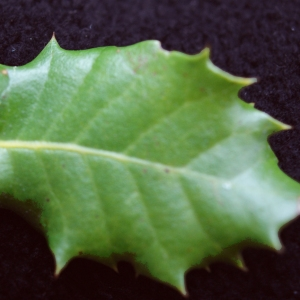 Photographie n°717899 du taxon Quercus x auzandri Gren. & Godr.