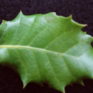 Quercus x auzandri Gren. & Godr. (Chêne)