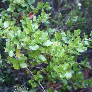 Photographie n°717901 du taxon Quercus x auzandri Gren. & Godr.