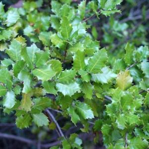 Photographie n°717903 du taxon Quercus x auzandri Gren. & Godr.