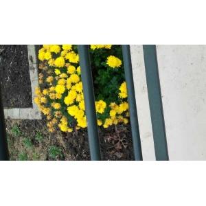 Chrysanthemum indicum L. (Camomille de Chine)