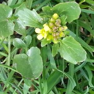 Photographie n°718371 du taxon Barbarea vulgaris W.T.Aiton