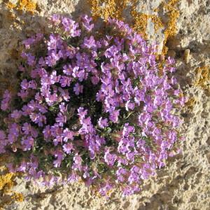 Photographie n°718496 du taxon Chaenorhinum origanifolium (L.) Kostel. [1844]