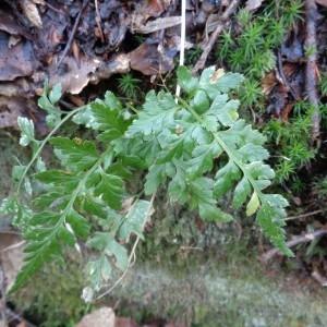 Photographie n°718672 du taxon Asplenium adiantum-nigrum L.
