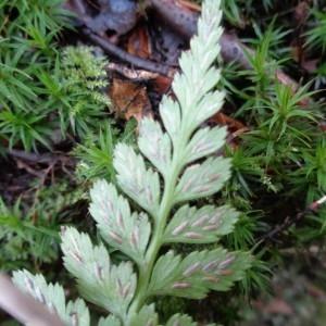 Photographie n°718673 du taxon Asplenium adiantum-nigrum L.