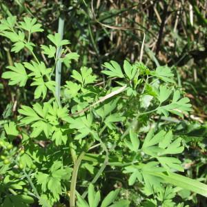 - Fumaria muralis subsp. muralis