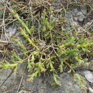 Photographie n°718865 du taxon Salicornia europaea subsp. disarticulata (Moss) Lambinon & Vanderp. [2012]