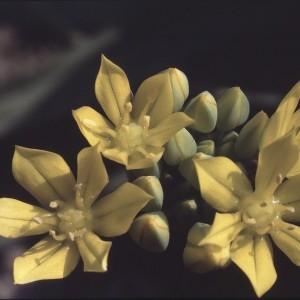 Photographie n°719618 du taxon Allium moly L.
