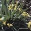 Liliane Roubaudi - Allium moly L. [1753]