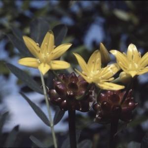 Photographie n°719620 du taxon Allium moly L.