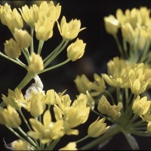 Photographie n°719622 du taxon Allium moly L.