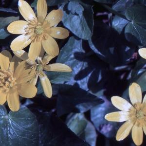 Ficaria verna subsp. ficariiformis (Rouy & Foucaud) Soó (Ficaire à grandes fleurs)