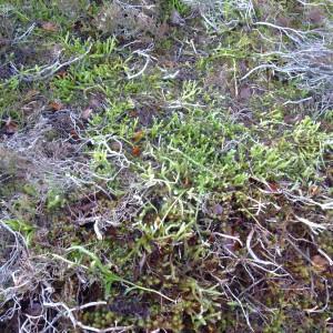 Photographie n°719677 du taxon Lycopodium clavatum L. [1753]