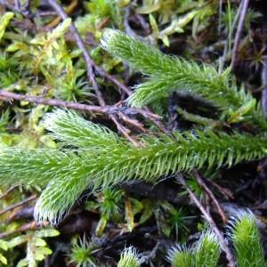 Photographie n°719687 du taxon Lycopodium clavatum L. [1753]