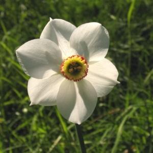 Photographie n°720119 du taxon Narcissus poeticus subsp. poeticus