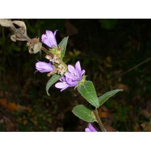 Campanula cervicaria L. [1753] (Campanule à fleurs en tête)