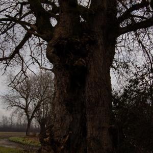 Photographie n°720539 du taxon Populus nigra L.