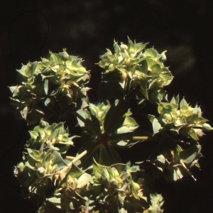 Euphorbia falcata L. (Euphorbe à cornes en faucille)