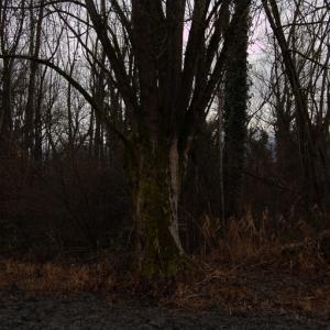 Photographie n°720571 du taxon Populus nigra L.