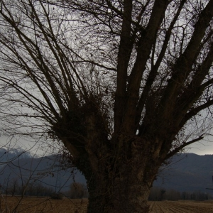 Photographie n°720573 du taxon Populus nigra L.