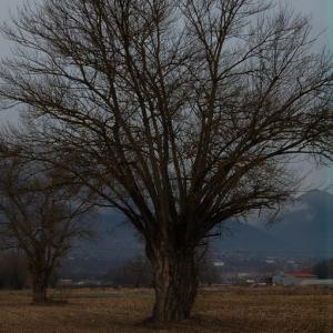 Photographie n°720574 du taxon Populus nigra L.