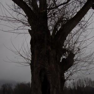 Photographie n°720576 du taxon Populus nigra L.