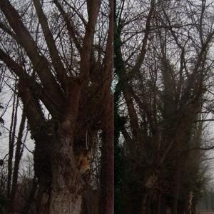 Photographie n°720577 du taxon Populus nigra L.