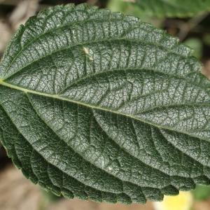 Photographie n°720780 du taxon Lantana camara L. [1753]