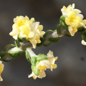 Photographie n°721176 du taxon Thymelaea hirsuta (L.) Endl. [1847]