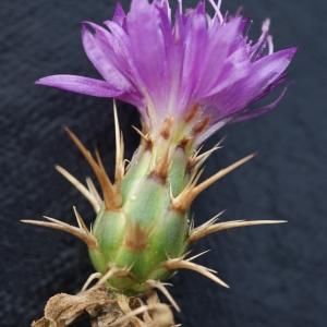 Photographie n°721336 du taxon Centaurea calcitrapa L. [1753]