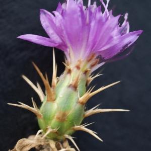 Photographie n°721337 du taxon Centaurea calcitrapa L. [1753]
