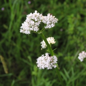 Photographie n°721740 du taxon Valeriana officinalis subsp. repens (Host) O.Bolòs & Vigo [1983]