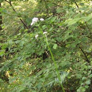 Photographie n°721741 du taxon Valeriana officinalis subsp. repens (Host) O.Bolòs & Vigo [1983]