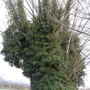 Photographie n°721766 du taxon Populus nigra L.