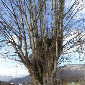 Photographie n°721767 du taxon Populus nigra L.