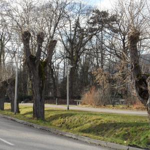 Photographie n°721832 du taxon Populus nigra L.
