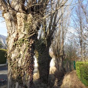 Photographie n°721834 du taxon Populus nigra L.