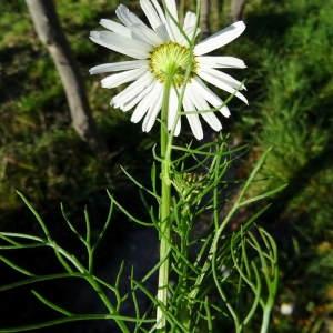 Photographie n°721881 du taxon Tripleurospermum inodorum (L.) Sch.Bip. [1844]