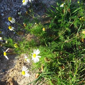 Photographie n°721883 du taxon Tripleurospermum inodorum (L.) Sch.Bip. [1844]