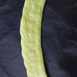 Photographie n°722026 du taxon Ceratonia siliqua L.