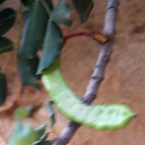 Photographie n°722030 du taxon Ceratonia siliqua L.