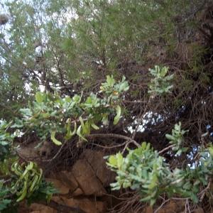 Photographie n°722189 du taxon Ceratonia siliqua L.