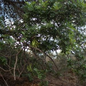 Photographie n°722190 du taxon Ceratonia siliqua L.