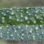 Liliane Roubaudi - Echium vulgare subsp. pustulatum (Sm.) Bonnier & Layens [1894]