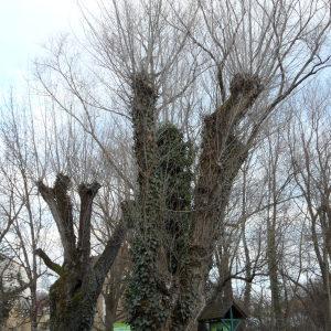 Photographie n°722582 du taxon Populus nigra L.