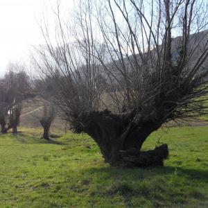Photographie n°722584 du taxon Populus nigra L.