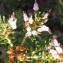 Liliane Roubaudi - Erica multiflora sensu L. [1754]