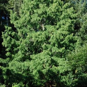 Photographie n°722956 du taxon Metasequoia glyptostroboides Hu & W.C.Cheng [1948]