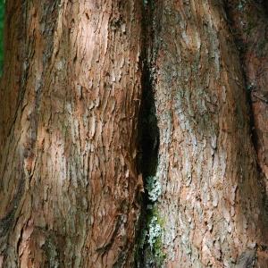 Photographie n°722957 du taxon Metasequoia glyptostroboides Hu & W.C.Cheng [1948]